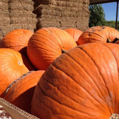 A barrel of pumpkins on the Snake Ranch Farm
