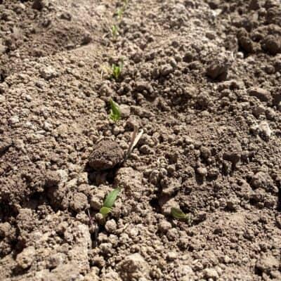 2021 chile seedlings